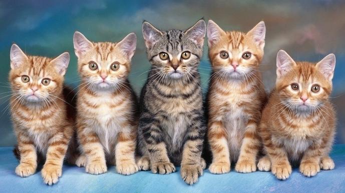 猫咪视频_虎斑小猫用尾巴钓鱼视频蹿红网络